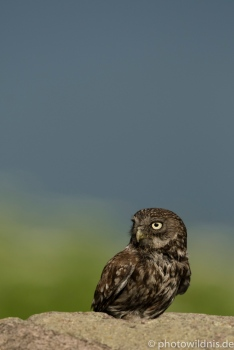 Steinkauz (engl. Little owl)