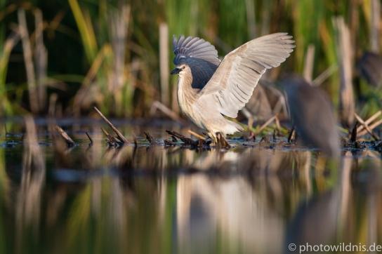 Nachtreiher (engl. Night heron)