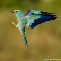 Blauracke - Coracias garrulus