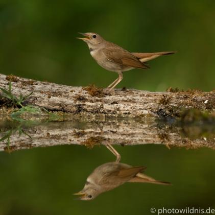 Nachtigall (engl. Nightingale)