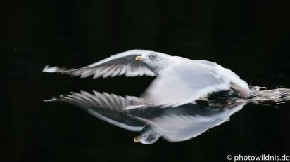 Silbermöwe - Larus argentatus