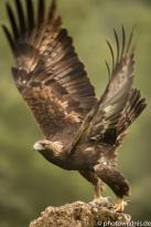 Steinadler - Aquila chrysaetos