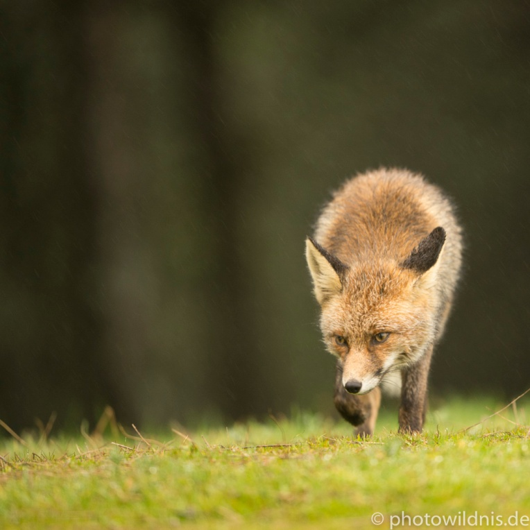 Rotfuchs - Vulpes vulpes
