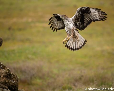 Habichtsadler - Aquila fasciata