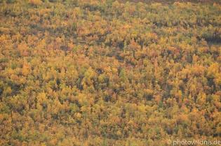 Birken im Farbrausch