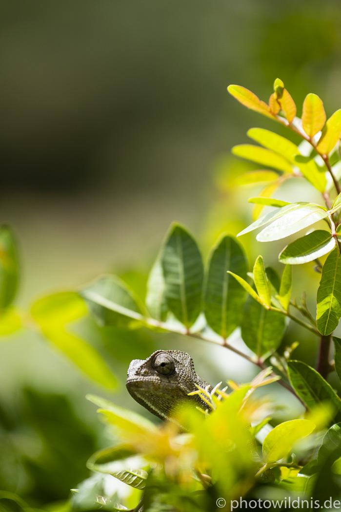Gewöhnliches Chamäleon - Chamaeleo chamaeleon